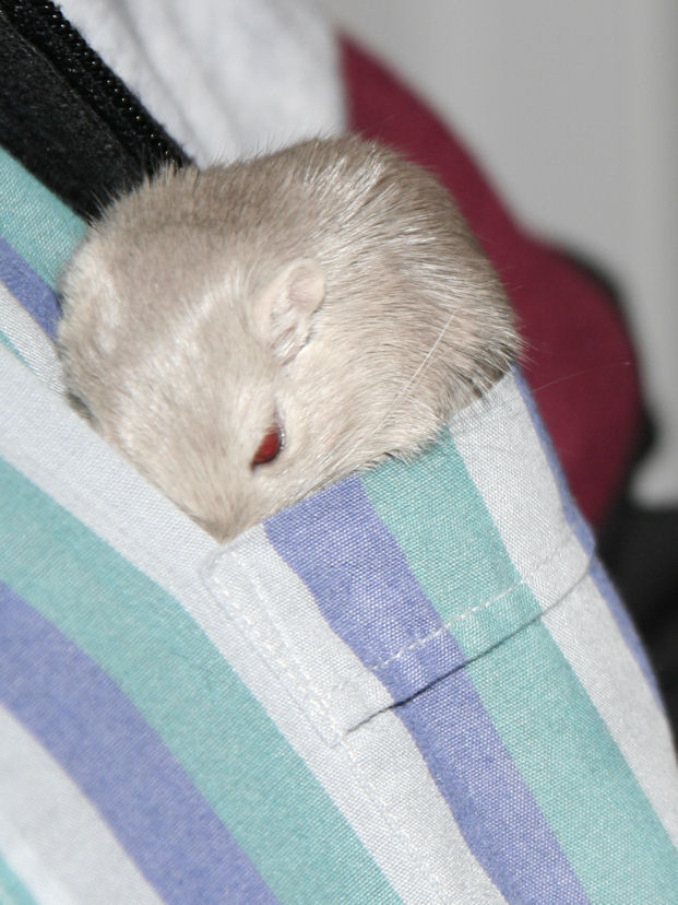 Pocket Gerb in Dad's Shirt Again!